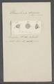 Urceolaria discina - - Print - Iconographia Zoologica - Special Collections University of Amsterdam - UBAINV0274 113 21 0010.tif