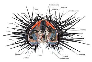 Sea urchin - Sea urchin anatomy based on Arbacia sp.
