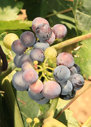 Toro (DO) - Grapes of Toro.