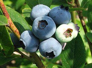 Xenia (plants) - Ripe and unripe fruit of Vaccinium corymbosum
