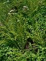 Valeriana sitchensis 21613.JPG