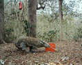 Varanus komodoensis captured by camera trap - journal.pone.0058800.g002B.png