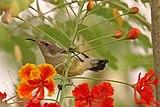 Variable sunbird (Cinnyris venustus venustus) female.jpg