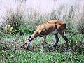 Veado no Pantanal.JPG