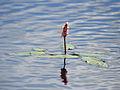 Veenwortel (Persicaria amphibia) in Nationaal Park De Alde Feanen, Locatie It Wikelslân 01.jpg