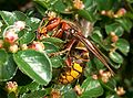 Vespa crabro germana lateralview 02 HQ.jpg
