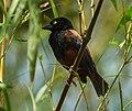 Viellot's Weaver ( castaneofuscus) - Kakum - Ghana 14 S4E1561, crop.jpg
