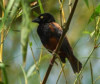 Vieillot's black weaver - P. n. castaneofuscus, Ghana