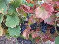 Vigne Louis Pasteur 005.JPG