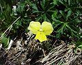 Viola calcarata20052002fleur.JPG