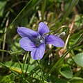 Viola canina-Violette des chiens-F1-20160428.jpg