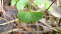 Viola hederacea leaf (16117340532).jpg