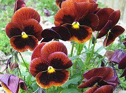 Πολύχρωμα άνθη του πανσέ