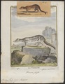 Viverra fossa - 1700-1880 - Print - Iconographia Zoologica - Special Collections University of Amsterdam - UBA01 IZ22400037.tif