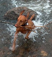 Vizslas love to fetch.