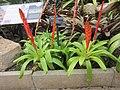 Vriesea duvaliana - Kew gardens.jpg