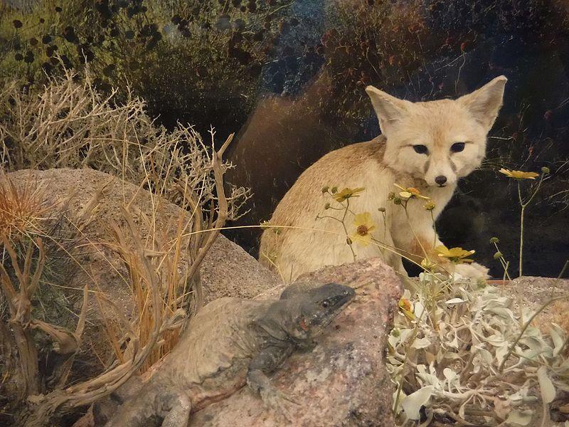 Vulpes macrotis San Diego Natural History Museum DSCF1847.jpg