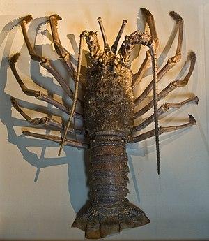 Japanese spiny lobster - Image: WLANL Pachango Sieboldhuis Panulirus Japonicus