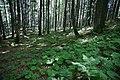Wald oberhalb Feldsee - geo.hlipp.de - 32321.jpg