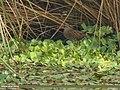 Water Rail (Rallus aquaticus) (30389656026).jpg