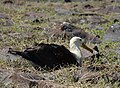 Waved Albatross (47987639936).jpg