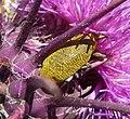 Weevil. - Flickr - gailhampshire (1).jpg