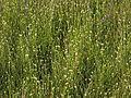 Weißes Schnabelried (Rhynchospora alba) Becklinger Moor@20150801 04.JPG