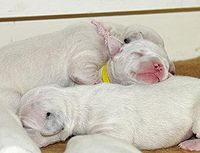 Dalmatian Dog Wikipedia