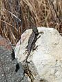 Western Fence Lizard (Sceloporus occidentalis) - Flickr - GregTheBusker (1).jpg