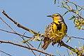 Western Meadowlark (26277163017).jpg