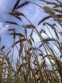 Wheat fields 03.jpg