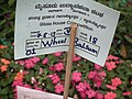 Wheel Balsam from Lalbagh flower show Aug 2013 8007.JPG