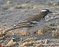 White-browed Sparrow-weaver (Plocepasser mahali) (23684431102).jpg