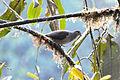 White-tipped Dove (5198408682).jpg