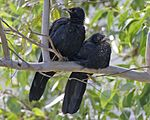 White-winged Chough (Corcorax melanorhamphos) pair.jpg