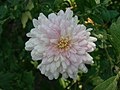 White Chrysanthemum Flower (212204487).jpeg