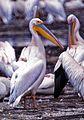 White Pelicans (Pelecanus onocrotalus) (8291936158).jpg