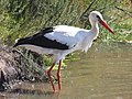 White Stork RWD.jpg