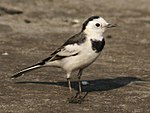 White Wagtail- (Non-breeding- leucopsis race) at Kolkata I1 IMG 5597.jpg
