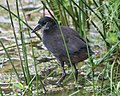 White breasted waterhen juvenile - Flickr - Lip Kee.jpg