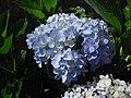 White flower at wayanad.JPG