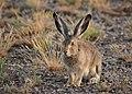 White tailed jackrabbit on Seedskadee National Wildlife Refuge (35548335603).jpg