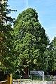 Wien-Hietzing - ND 124 - Mammutbaum (Sequoiadendron giganteum).jpg