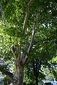Wiener Naturdenkmal 564 - Platane (Innere Stadt) d.JPG