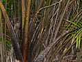 Wild Hill Sago (Eugeissona utilis) spiny base (15822511702).jpg