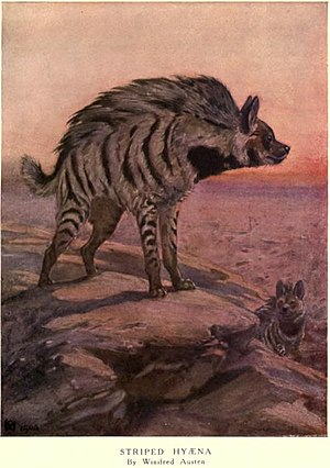Striped hyena - Illustration from Frank Finn's Wild Beasts of the World (1909)