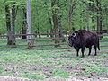Wisent in reserve Bialowieza Poland.jpg
