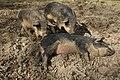Wollschweine3.jpg