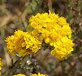 YARROW, GOLDEN (eriophyllum confertiflorum) (6-6-07) canet -1 (535399238).jpg