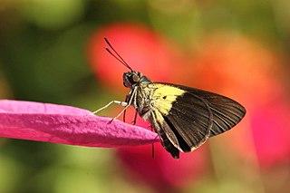 <i>Quedara basiflava</i> species of insect